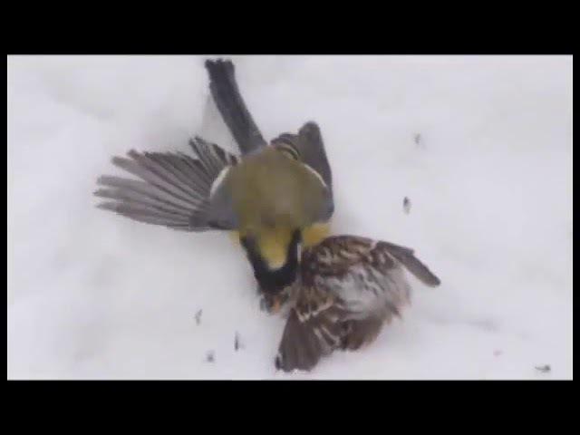 Большая синица убивает и поедает чечётку