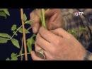 Прививка томатов на два корня сращиванием аблактировка