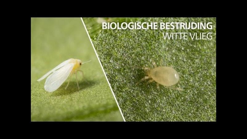 Witte vlieg bestrijding: Amblyseius swirskii