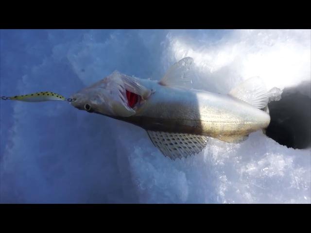 Зимняя рыбалка на судака Обское водохранилище 2016