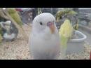MUSIC Three budgerigar parakeet segments at a pet shop