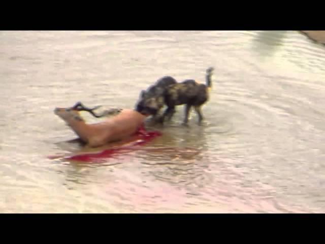 Дикие собаки и гиена едят импалу живьем