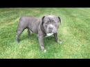 AMERICAN BULLY KRATOS: BIG OLD DOME AND FLOPPY EARS (FAN SUBMITTED)