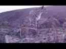 Снежные леопарды. Снежные барсы. Ирбисы. Животные №85