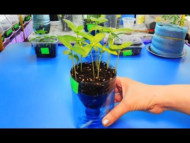 РАССАДА ЦИННИИ НА ФИТИЛЬНОМ ПОЛИВЕ ! Растет в 2 раза быстрее ! Выращивание на фитиле 🌱
