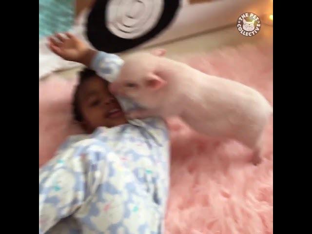 После просмотра этого видео, Вы точно захотите себе домой свинку
