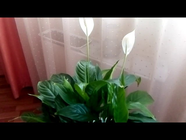 Спатифиллум уход в домашних условиях.Цветок женское счастье