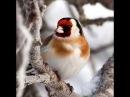Щиглик взимку благає про підтримку