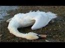 Подобрал раненого лебедя на трассе