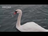 Лебединое озеро в Казани: у символа эковесны-2017 подрастает потомство