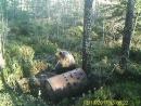 Медведица на приваде.(карелия, Суоярви)