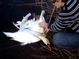 Парень спас двух лебедей (Журнал