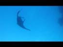 Манта на Дедалусе 2 е Майское Сафари 2017г