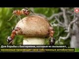 Муравьи и антибиотики