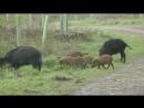 Дикий кабан Wild boar Энциклопедия животных