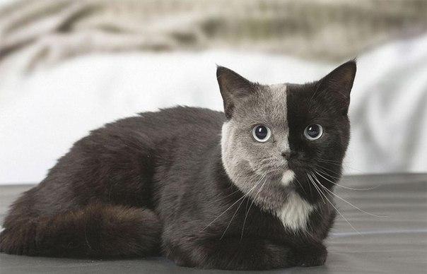Знакомьтесь: это Нарния, британская короткошерстная кошка с удивительным окрасом мордочки.