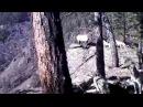 Охота на изюбря с лайками