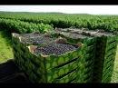 Выращивание и продажа черной смородины как идея для бизнеса