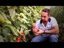 Как вырастить томаты помидоры в теплице Выращивание овощей в закрытом грунте ...