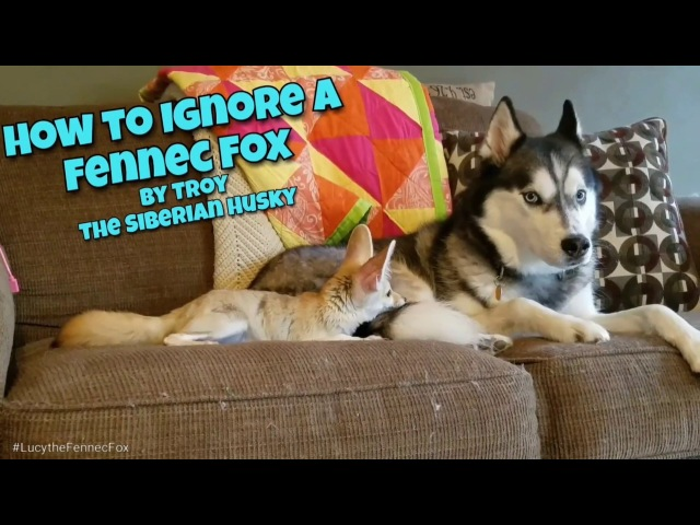 How to Ignore Your Fennec fox