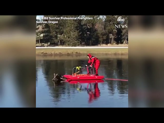 Firefighters Rescue Deer Who Stuck On Frozen Water On Golf Course