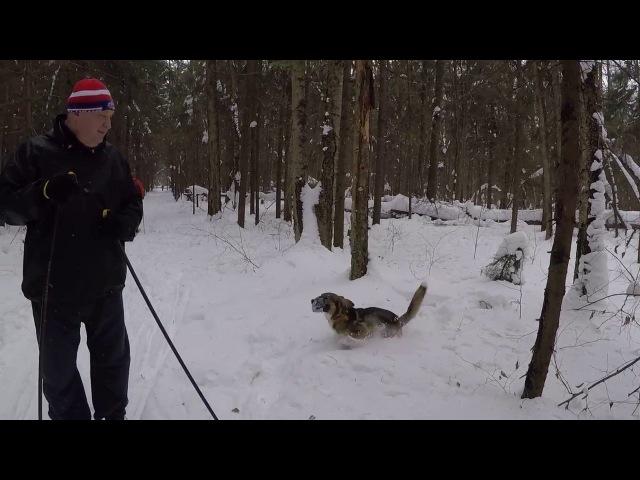 Пуля играет на лыжной прогулке Немного волонтер