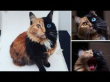 Котенок Химера  одна из тех удивительных неожиданностей, которые умеет преп ...