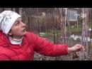 Обрезка малины на зиму Правила ухода за малиной Сайт Садовый мир