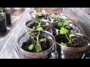 Мой опыт выращивания малины из семян