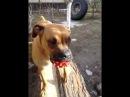 Джесси. Собака и пищащая игрушка. Jessie.