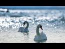 Лебединая верность Красивая лирическая музыка