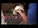 Vet Ranch на русском - Что только не найдешь в желудке собаки /Craziest Thing I HaveRemovedFromPuppy