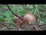 Squirrel with a large tail