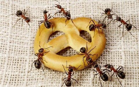 Нашествие «фараонов»: колонии муравьёв обживают квартиры усть-илимцев