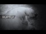 Australia- Teeny tiny polar bear twins born at Sea World, on Gold Coast