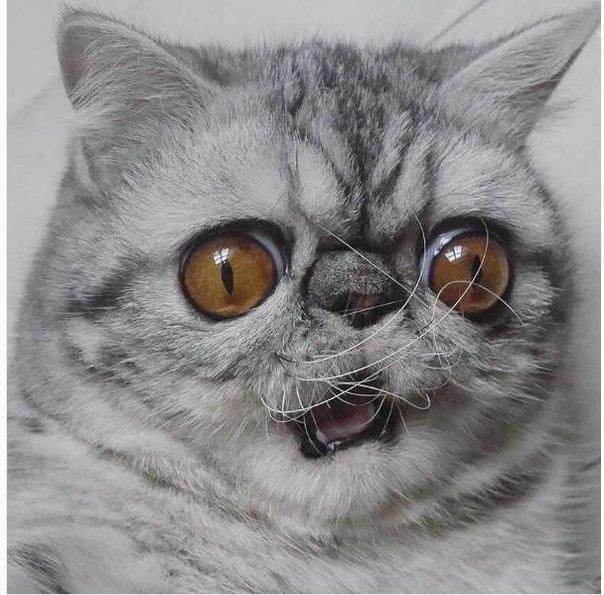 Кот-экзот Гермет идеально описал все мои состояния в течение дня