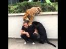Тигр и Пантера играет с человеком