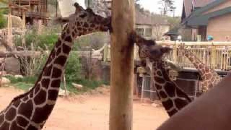 Giraffe licks pole.