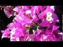 Самые красивые цветущие кустарники в мире бугенвиллия Bougainvillea spectabilis 11 12 2017