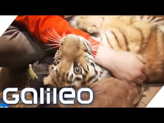 Ein Tiger als Haustier   Galileo
