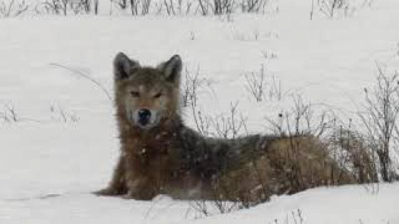 Wolf el lobo duro con las adversidad del tiempo