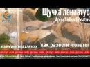 щучка лениатус, Aplocheilus lineatus, первая проба развести щучку, условия разведения