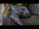 Orphan Wombat's journey back to the wild BBC Earth