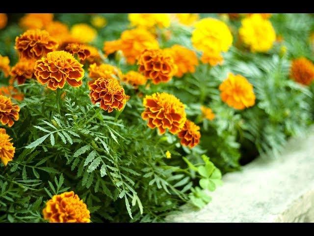 какие цветы хорошо растут вместе - полезные растения - растения спутники