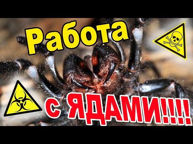 Работа с ядовитыми пауками, меры предосторожности и способы пересадок.