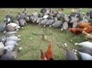 Cobra vs Pássaro vs Esquilo vs Ratel vs King cobra