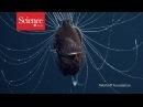 Биологи показали на видео пару рыб удильщиков First footage of deep sea anglerfish pair