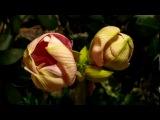 Распускающие цветы.Клод Киари Claude Ciari Tombe La Neige