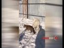 Собака взяла на воспитание леопарда