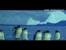 Ребятам о Зверятах - пингвины мир животных императорский пингвин